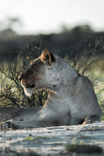 Fotobehang Lion Kalahari Lioness At First Light