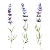 Fototapety Lavender flowers on white background