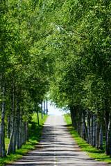 白樺の並木道 © makieni
