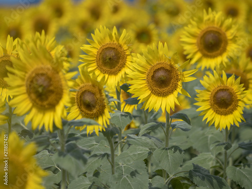 Fotobehang Honing Sunflower field