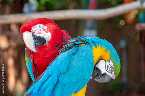 Fotobehang Papegaai Couple of macaws in love