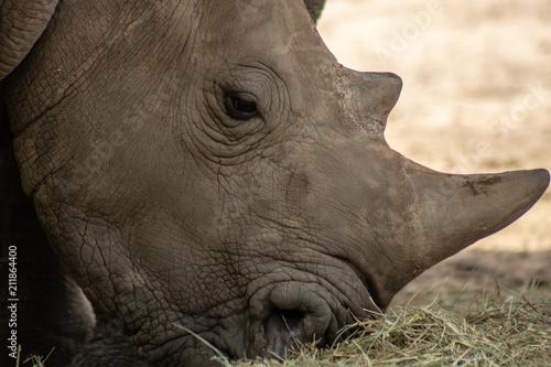 Fotobehang Neushoorn Southern white rhino