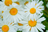 summer flowers, chamomile field, chamomile