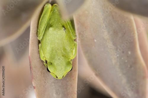 Fotobehang Kikker Tropical green tree frog on cactus leaf top viewpoint
