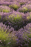 Rows of Lavender in the south of France - 211866883