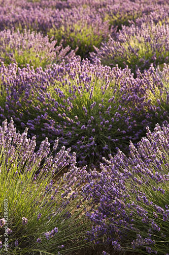 Plexiglas Lavendel Rows of Lavender in the south of France