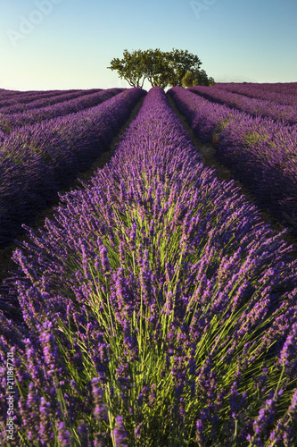 Rows of lavender and tree