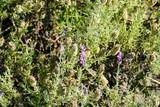 Lavender flowers in closeup - 211869681