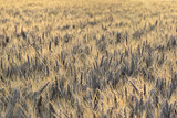 field of ripe barley at sunset - 211881201