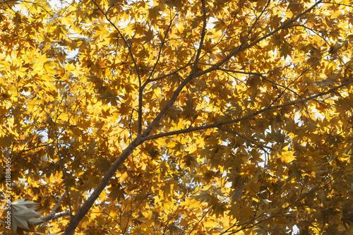 Plexiglas Herfst Autumn landscape. Autumn tree leaves sky background, texture, background