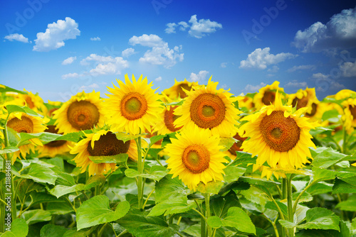 Vibrant field of sunflowers in a summer day with blue sky