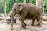 Indian elephant in zoo, animal in captivity