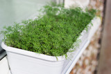 Fresh dill growing in a pot on the window - 211903050