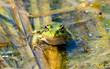 Romania, Danube Delta: Frosch