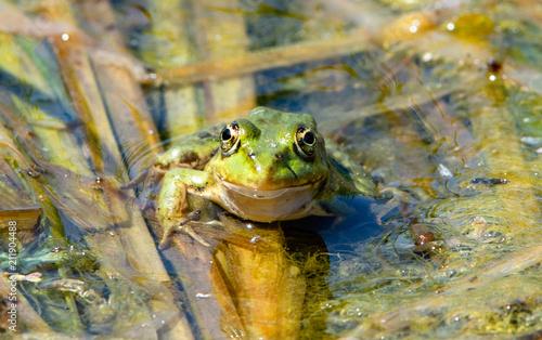 Fotobehang Kikker Romania, Danube Delta: Frosch