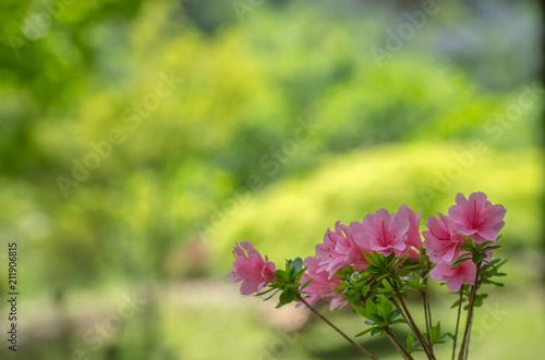 Fotobehang Azalea ピンク色のツツジ