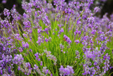 Blossoming scented lavender - 211908640