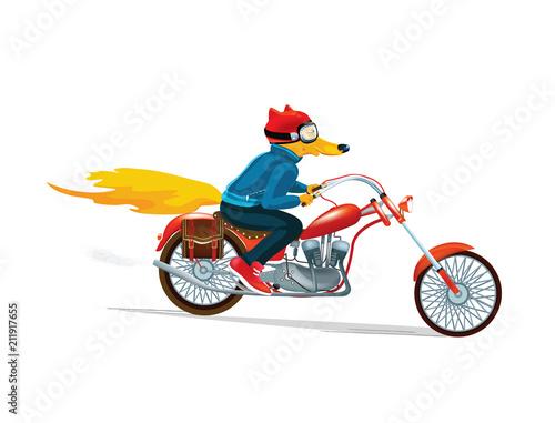 Fototapeta Fox man on a red motorcycle. Hand drawn illustration of dressed fox. Vector illustration. Cartoon drawing style.