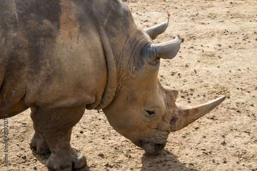 Plexiglas Neushoorn Rhino Close Up