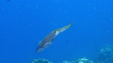 Caribbean Reef Squid in coral reef of Caribbean Sea at scuba dive around Curacao /Netherlands Antilles - 211924055