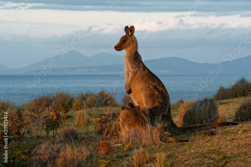 Fotobehang Kangoeroe Macropus giganteus - Eastern Grey Kangaroo in Tasmania in Australia, Maria Island, Tasmania, standing on the meadow in the evening