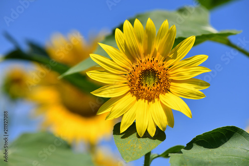 Young Sunflower against the Blue Sky