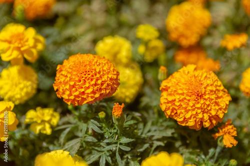 Two dahlias yellow flowers