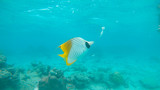 UNDERWATER: Small yellow tropical fish feeds on bread floating around the sea.