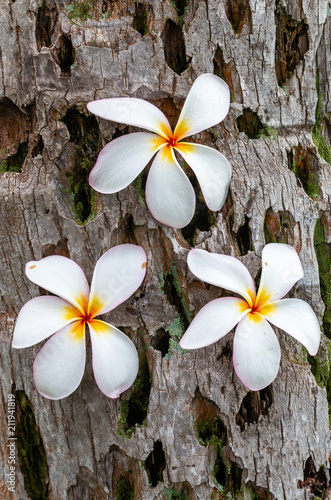 Fotobehang Plumeria Beautiful White Plumeria Flowers on Maui