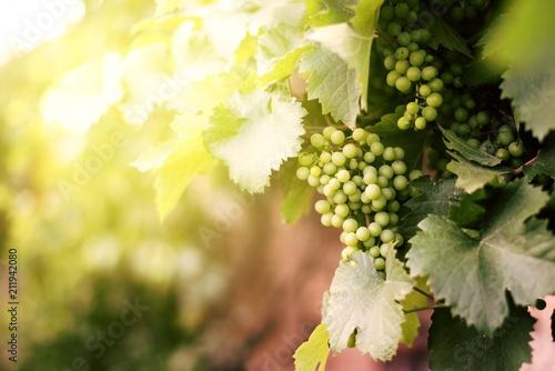 Aluminium Wijngaard vineyard grapes with sunlight tone