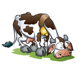 Diary brown holstein cow pasturing