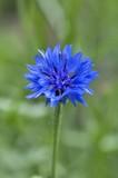 blue cornflower blossomed