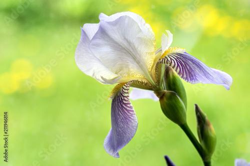Fotobehang Iris Image with iris.