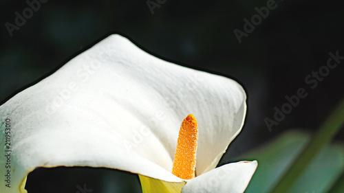 Fotobehang Iris Cala o lirio de agua en un jardín de Gijón, Principado de Asturias, España