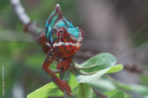 Fotobehang Panter Panther chameleon Furcifer pardalis on a branch