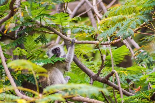 Aluminium Aap Vervet monkey sitting on a wall in the savannah