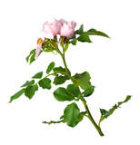 A branch of blossoming dogrose / roses. Isolated on white background without shadow. Close-up. - 211972828