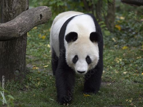 Plexiglas Panda Panda bear