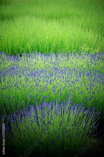 Canvas Lavendel Mauve est jour