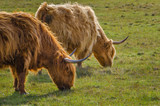 Scottish cow of the highlands, Scotland Great Britain