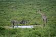 Steppenzebras (Equus quagga) und Giraffe (Giraffa), Südafrika, Afrika