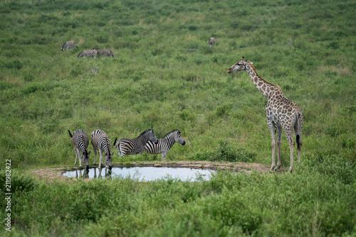 Fototapeta Steppenzebras (Equus quagga) und Giraffe (Giraffa), Südafrika, Afrika