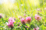 Natural background. Summer bright scene with a flowering flower clover in the rain
