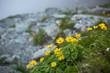 Dandelions on a rocky hiking trail