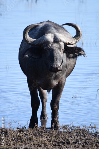 Cape Buffalo in Zambia