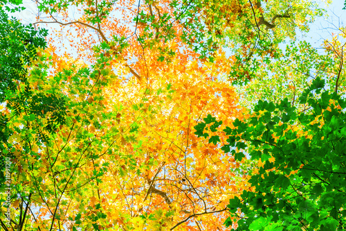 Aluminium Oranje tree canopy with autumnal colored leaves