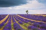 Blossoming Lavender fields in Valensole plateau