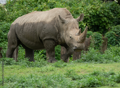 Plexiglas Neushoorn adult female rhino has finished her mud bath