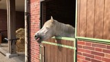 White horse pony at stable yawning and showing teeth and tongue - 212021278