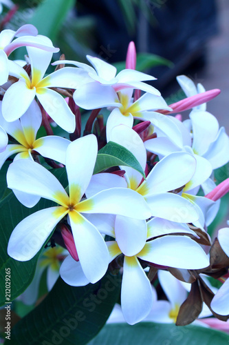 Fotobehang Plumeria Close up view of a beautiful white plumeria (frangipani) blossoms